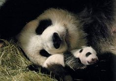 Google Image Result for http://dsc.discovery.com/news/2006/10/13/gallery/panda_zoom.jpg