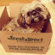 So not what I ordered! ... shihtzus, shih tzus, big shitzu, little dogs