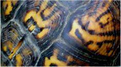 NorthEastern Tortoiseshell Top HD Oil on Canvas