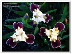 "Our Little Acre: ""Wordless Wednesday: Dwarf Bearded Iris"""