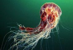 another lion's mane jelly, alexander semenov, via Flickr