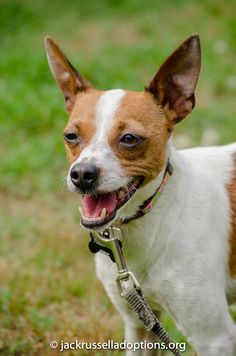 Jessie, Adoptable Jack Russell Chi Terrier Mix, Atlanta | Georgia Jack Russell Rescue, Adoption and Sanctuary