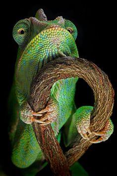 """Camaleón 2"", por Igor Siwanowicz. igor siwanowicz, anim, lizard, chameleons, strength training, macro photography, amphibian, insect, reptil"