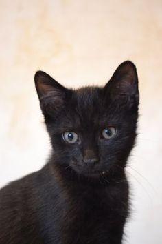 YOSHI adorable petit chaton de 3 mois Coeur de Félins(Pas-de-Calais) Saint-Venant
