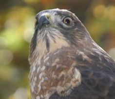 Birds of Prey in Southern WV have a friend in Three River Avian Center.  Each month they have an open house date for those who would like to visit.