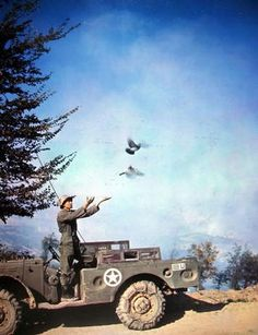 A private releases two pigeons that are used in the message center which operates a few miles behind the front lines. He is attached to a Signal Pigeon Company with the US 5th Army in Italy. He's standing on a Dodge ~