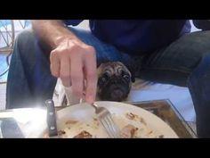 Funny Pug Begging for Food - YouTube