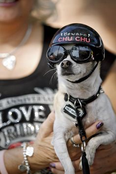 Chihuahua Biker