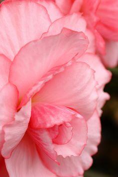 #pink #begonia
