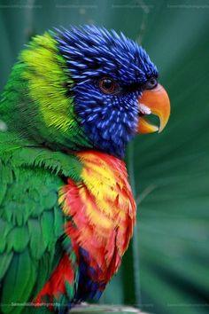 Rainbow Lorikeet by ~Sam2103 on deviantART