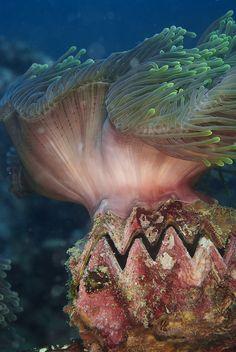 Zig zag oyster, anemone / Perhentian Islands, Malaysia