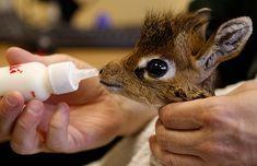 baby giraffe... Love the big eyes