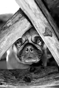 Love me?  #pugs
