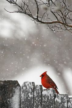 christmas cards, winter snow, anim, red bird, fenc, beauti, winter scenes, birds, cardinals
