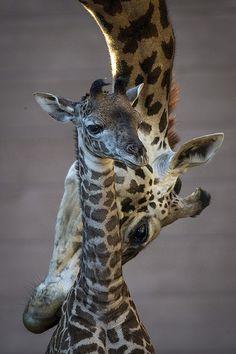 babi giraff, san diego zoo, anim, mother, famili, masai giraff, zoos, calves, giraffes