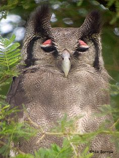 Verreaux's Eagle Owl, showing pink eyelids. Uganda