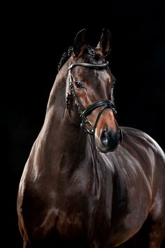 beautiful brown Oldenburg stallion