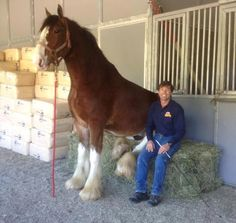 Tommie Turvey with one of the Clydesdales he is training for their Superbowl Bud Commercial.
