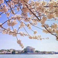 It's Cherry Blossom season! #DC cherri blossom, blossom season, cherry blossoms