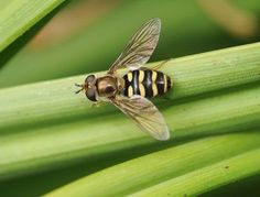GOOD BUG: Hover Flies. Hover flies like to eat aphids. They also pollinate strawberries and raspberries.