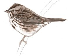 John Muir Laws is a genius, and shows you how to draw birds.