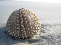 Shell, Kiawah
