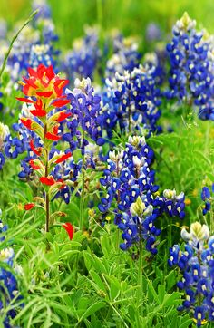 Texas state flower: bluebonnets, along with Indian Paint flower - I love seeing this all across Texas.
