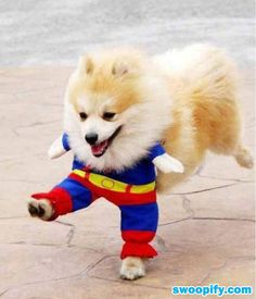 anim, funny dogs, halloween costumes, cat costumes, dog costumes, pet costumes, puppi, pomeranian, little dogs