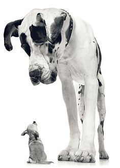 little dog BIG DOG great danes, small dogs, animal photography, pet, puppi, chihuahua, big little, little dogs, big dogs