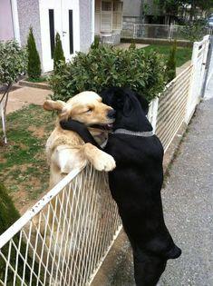 dog photos, fenc, pet, friendship, puppi, bear hugs, dog pictures, black labs, animal