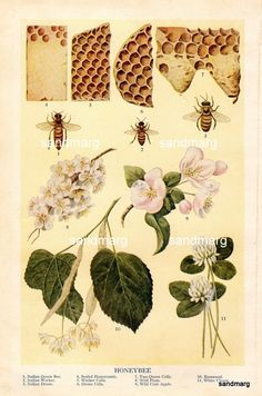 1909 Antique Chart of Honeybee Queen Bee Workers Drones Cells and Plants t