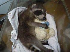 Raccoon with teddy.