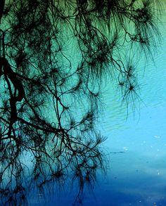 swamp sheoak (casuarina glauca), Coffs Harbor, Australia