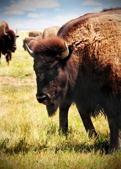 Buffalo at Badlands National Park in South Dakota via Beers & Beans >> There's something awesome about buffalo...