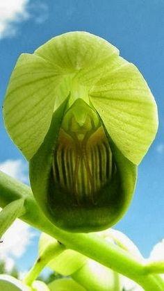 Catasetum Luridum Lindl Orchid