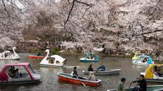 """From the end of March to early May, cherry blossoms (known as """"sakura"""") bloom all over Japan!"""
