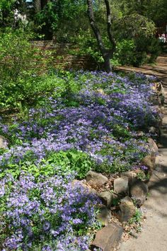 NATIVE. Phlox divaricata - Wild Sweet William. Rock gardens, border fronts, wild gardens, native plant gardens or naturalized areas. Also an effective, shallow-rooted cover for early spring bulbs. Part Shade to Full Shade. Height: 0.75 to 1 feet, Spread: 0.75 to 1 feet.