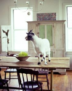 dining rooms, kitchen tables, farms, farm life, dinners, pygmy goats, dining tables, farm houses, baby goats