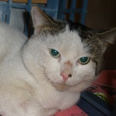 This is Monster. His name is totally ironic because he's actually a really sweet cat! Click to view Monster's adoption profile