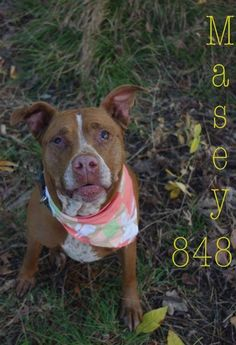 PLEASE HELP SWEET MASEY!!!!! FOUND IN YOUNGSTOWN, OHIO>>> NOW ADOPTABLE!!! CONTACT: stoohey@mahoningcountyoh.govAvailable: 9/25Masey (ID #848) is a really nice older gal. She is a very friendly and gentle older pittie and will be available for adoption on September 25.All dogs are spayed/neutered before you bring them...