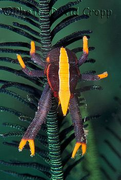Crinoid squat lobster - Allogalathea elegans