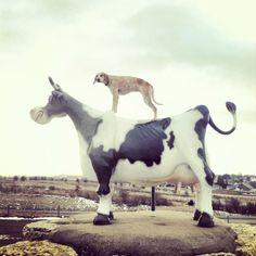 Maddie on a Big Cow.