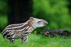 A baby Tapir at Dublin Zoo - Eons of Cuteness Wrapped in One Tiny Tapir | OnEarth Magazine