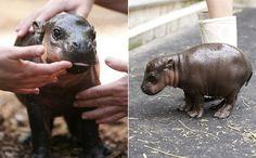 baby pygmy hippo!