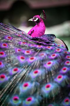 The colours of this peacock are beautiful.