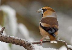 Myndaniðurstöður Google fyrir http://www.vhxd.com/pictures/beautiful-brown-bird.jpg