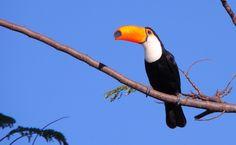 Tucano-toco no Pantanal Sul, Mato Grosso do Sul