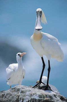 Black-faced Spoonbill, Korea www.paintingyouwithwords.com