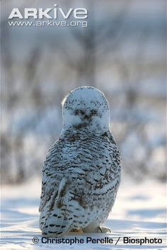 Immature snowy owl, rear view