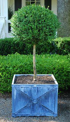 Box standard topiary